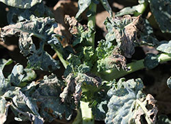 Injury to broccoli produced by harlequin bugs