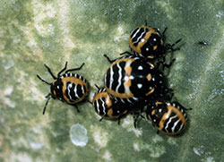 Harlequin bug nymphs of mixed ages