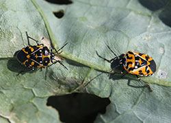 Adult harlequin bugs showing a range of color and patterning
