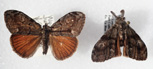 Figure 1: Adult males of the Douglas-fir tussock moth.