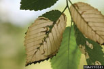 Elm leafminer injury