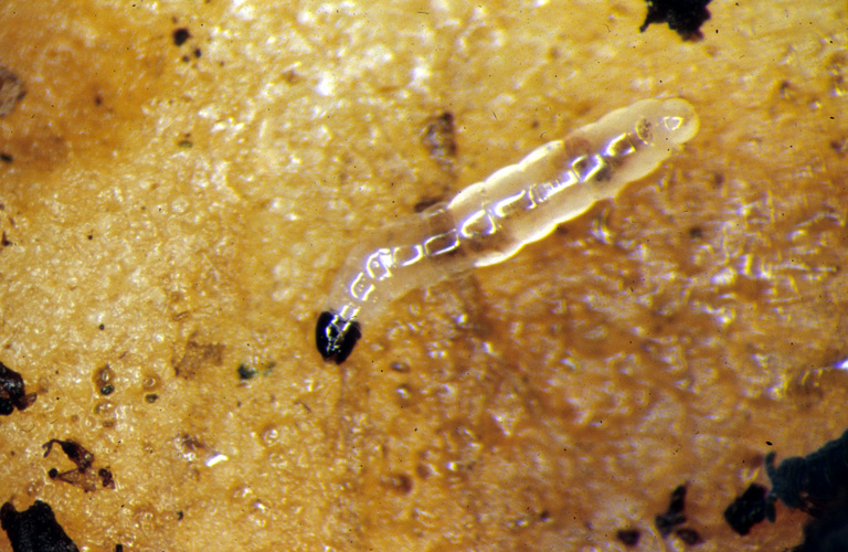 Figure 4: Fungus gnat larvae on potato slice.