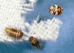 Furniture Carpet beetle adult and larvae.