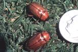Masked chafer adults