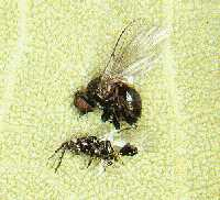 Poplar twiggall fly and parasitic wasp