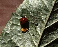 Twospotted lady beetle
