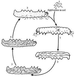 Life cycle of Steinernema nematodes
