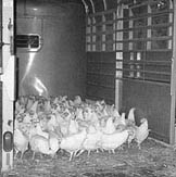 Hens being transported in a horse trailer.