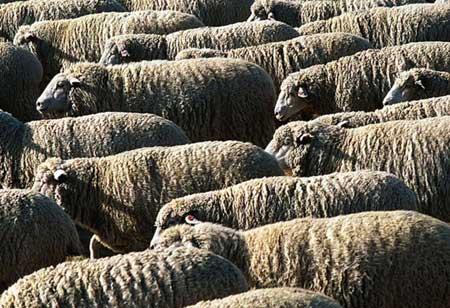 Enterotoxemia (Overeating Disease) of Sheep and Goats
