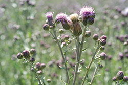 Figure 5. Canada thistle in flowering growth stage.