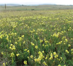 Figure 3.  Yellow toadflax usually is 1 to 3 feet tall and often dominates Colorado rangeland.
