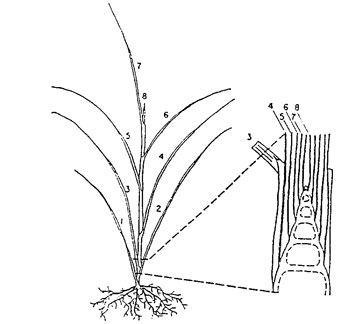 Figure 1: A vegetative grass tiller. Leaf 1 is oldest and leaf 8 is just being exerted. The enlarged area of the crown shows the apical meristem that produces the leaves.
