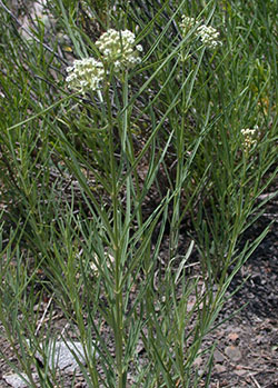 Western whorled milkweed is a distinctive plant with upright growth habit, narrow leaves, and round inflorescence of greenish-white flowers.