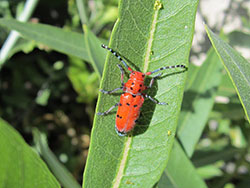 Red milkweed beetles are specialists on milkweeds. Their bright red aposomatic coloration warns predators to stay away.