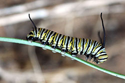 Larvae of monarch butterflies feed exclusively on milkweeds. The colorful caterpillars are poisonous to birds, which learn to recognize and avoid them.