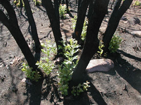 Oak brush resprouting after fire