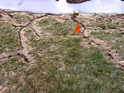 Vole runways in lawn after snow melted in spring.