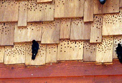 Woodpecker damage to roof