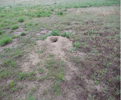 Weedy area around mound where previously existing vegetation was removed by the prairie dogs.