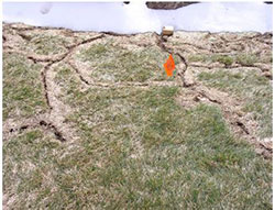 Vole runways in lawn after snow melt in spring.