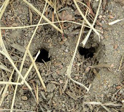 Examples of vole holes.