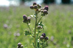 Figure 4. Canada thistle in the late bud growth stage.