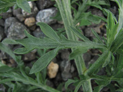 Figure 3. Diffuse knapweed leaves; note fine, short hairs on surface.