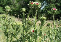 Musk thistle in bud growth stage; note large bracts below developing flower.