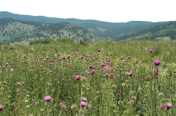 Musk thistle infestation in the Colorado foothills.