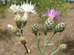 Diffuse knapweed on left, spotten knapweed on right.