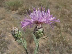 Figure 5. Spotted knapweed flowers; note dark-tipped bracts and lack of long terminal spine on teip of bract.