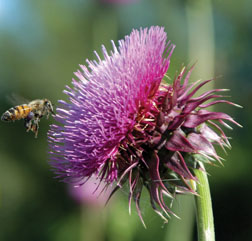 Musk thistle flower; note large bracts and lack of leaves on shoot below flower.