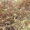 Cheatgrass and Wildfire