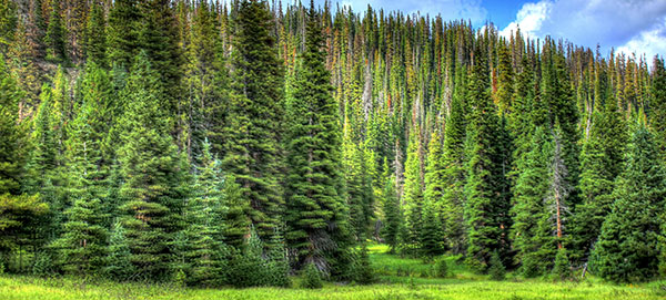 Pine trees in Colorado