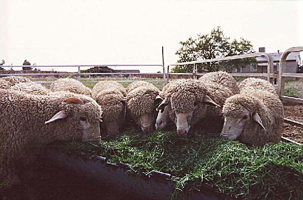 Evaluation of Grass Clippings as a Feed Source for Sheep