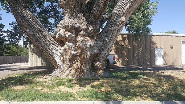 oldest cottonwood tree in Colorado