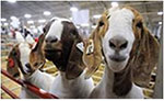 Weld County Goat Extravaganza