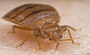 Bed Bug Lookalikes Bat Bugs And Swallow Bugs In Colorado 5 625 Extension