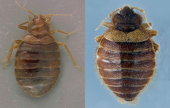 Bugs Mistaken For Bed Bugs – What Bed Bugs Look Like