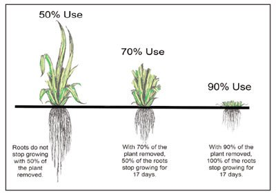 Illustration of forage utilization and its impact on root growth