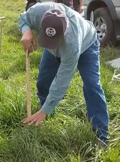 Demonstrating sward height measurement with a pasture/grazing stick