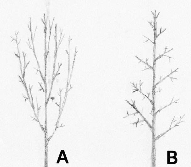 Examples of the branching structure that columnar and fastigiate trees will have. (A) Some columnar trees will have narrow branch angles, leading to potentially greater snow load and damage; (B) Other species will have wider angles from the trunk, being less susceptible to breakage from snow or wind.