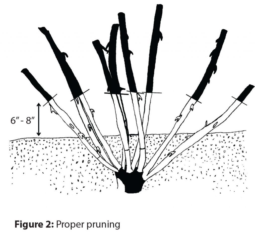 Proper pruning of rose canes