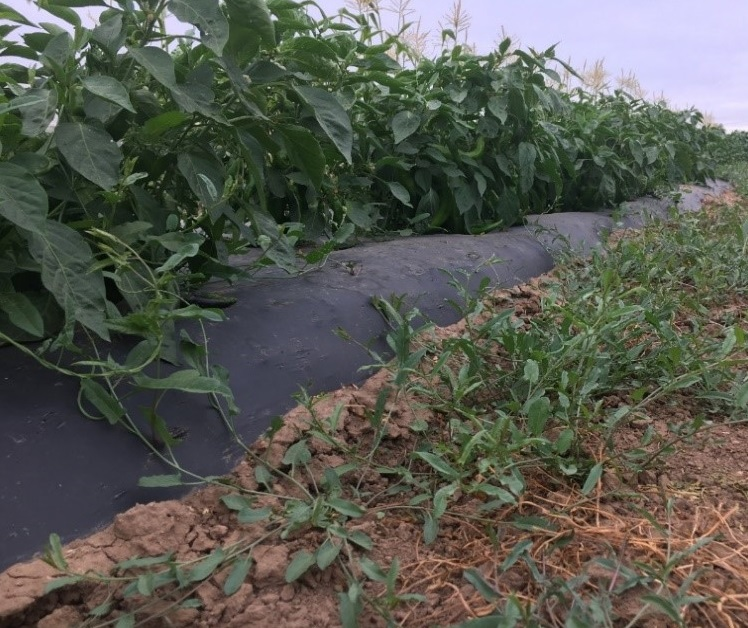 "Field bindweed growing along the plastic mulch/soil interface; ""trouble spot"" in a pepper crop"