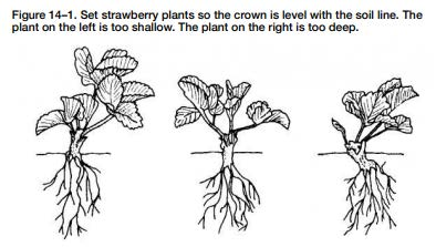 Planting strawberry plants