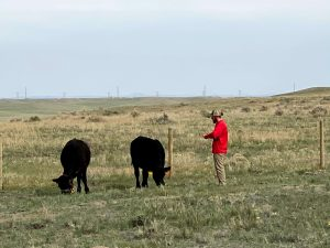 Cattle in field with man